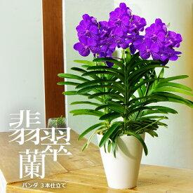 【少量・限定開花中】洋ラン『バンダ 超豪華3本仕立て』選べる3タイプ空中に美しい根を出すバンダは、吊り下げ栽培にも最適!誕生日のお花やご自宅のリビングにも♪