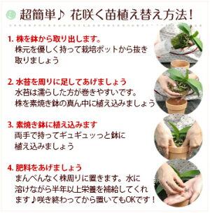 洋ラン『ミニデンドロエンジェルベイビー【花咲く苗セット】』無霜地帯では屋外で越冬できるほど丈夫な日本生まれの品種育て方の説明書付き洋蘭苗栽培キットデンドロビュームデンドロビウム