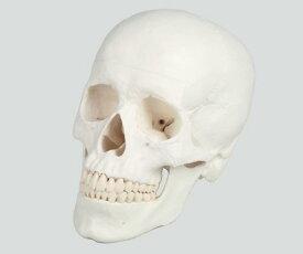 頭蓋 3分解モデル【人体模型】【模型】【教育】【医療】【学校】【看護師】【病院】