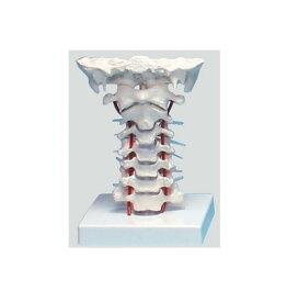 頸椎モデル【模型】【人体模型】【教育】【医療】【看護師】【病院】【学校】