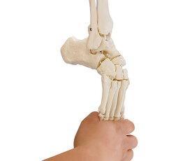 足骨格モデル(脛骨・腓骨付き)【骨】【骨格】【模型】【学校】【教育】【足】