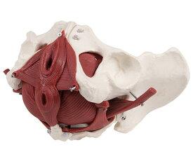 骨盤12分解モデル 女性【骨】【骨格】【学校】【教育】【模型】
