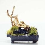 幅25cm 信楽焼 苔テラリウム 完成品 プレゼントにもおすすめ 現物 苔盆景 テラリウム 流木 暗黒石 開店祝い