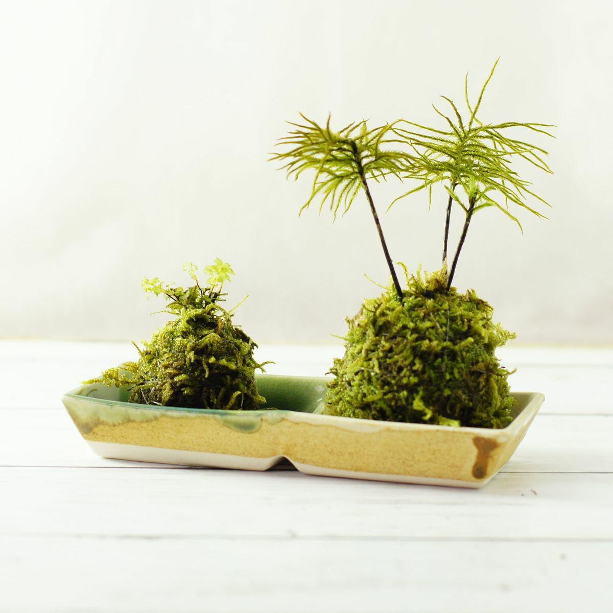 ミニ苔玉が4個作れる! 苔の苔玉製作キット 霧吹き・糸セット 4種の苔セット