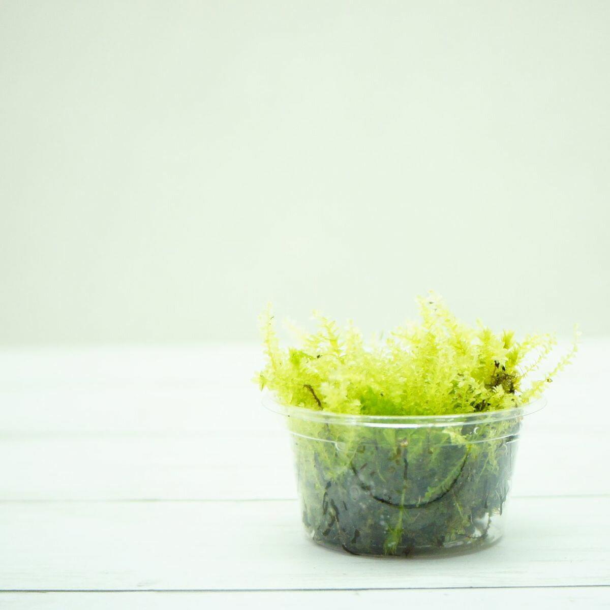 【高原の苔】 透明感のある苔 コツボゴケ ミニカップ 小さな作品や苔玉に