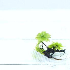 【高原の苔】 大型で透明感のある苔 カサゴケ 5本 テラリウム 苔テラリウム 苔 アクアテラリウム