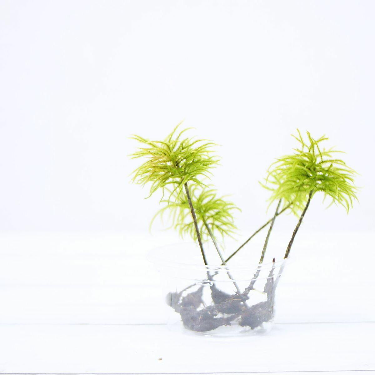 【高原の苔】 大型の木のように伸びる苔 コウヤノマンネングサ 3本 テラリウム 苔テラリウム アクアテラリウム 苔