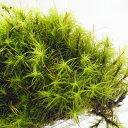 【高原の苔】 女性にも大人気 タマゴケ ミニパック テラリウム 苔テラリウム 苔