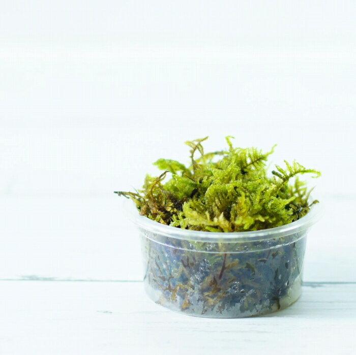 【高原の苔】 初めての苔育成にもピッタリ ハイゴケ ミニパック 小さな作品や苔玉に
