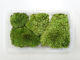 苔 こけ コケ ヤマゴケ 山苔 盆栽苔 【ホソバオキナゴケミニパック(S1)(154×96mm) 】