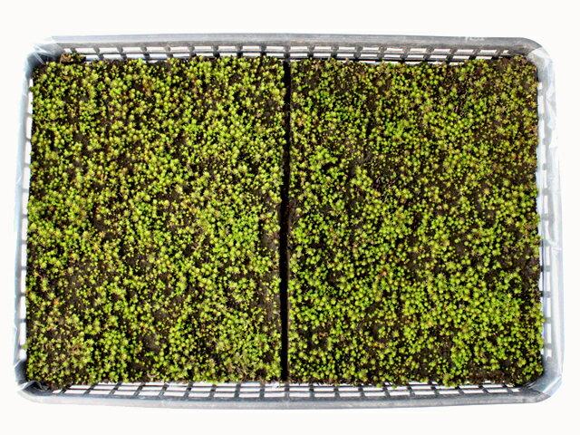苔 こけ コケ スギゴケ 杉苔 庭園苔 苔庭 テラリウム 【杉苔上品大トレー】