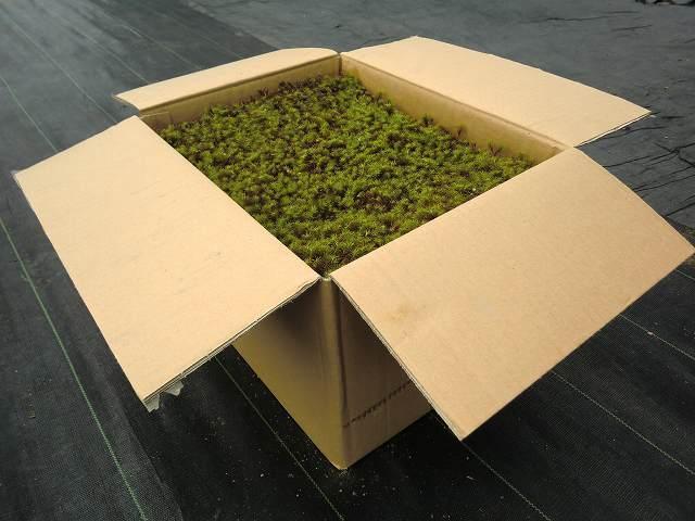 苔 こけ コケ スギゴケ 杉苔 庭園苔 苔庭 【杉苔8枚入り(約0.8平米)】