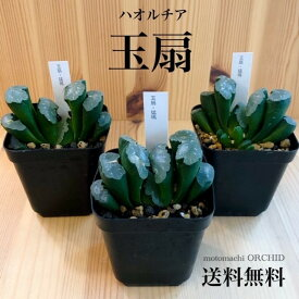 希少 多肉植物 ハオルチア 玉扇 ギョクセン観葉植物 珍奇植物 トゥルンカータ 卓上 インテリア 個性的 プラ鉢 おしゃれ アートプランツ 多肉 送料無料