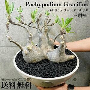 【特選三頭】パキポディウム グラキリス 発根済み塊根植物 多肉植物 観葉植物 コーデックス 人気急増 個性的 格好良い インテリア おしゃれ 卓上 プラ鉢 発根管理中