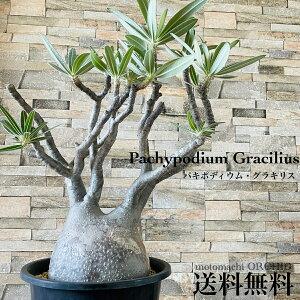 人気 パキポディウム グラキリス 発根済塊根植物 多肉植物 観葉植物 コーデックス 人気急増 個性的 格好良い インテリア おしゃれ 卓上 プラ鉢