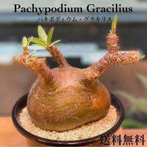 人気種 パキポディウム グラキリス 発根済塊根植物 多肉植物 観葉植物 コーデックス 人気急増 個性的 格好良い インテリア おしゃれ 卓上 プラ鉢
