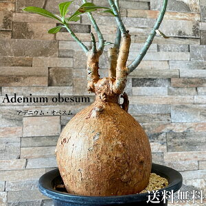 アデニウム オベスム レア 塊根植物 コーデックス観葉植物 多肉植物 塊根植物 特大 赤肌 造形的 お洒落 人気 インテリア プラ鉢 送料無料