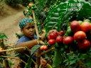 【送料無料】新豆★タンザニア キリマンジャロ/ブラックバーン農園 フレンチロースト 500g|スペシャルティコーヒー|コーヒー|珈琲|コーヒー豆|珈琲豆|tanzania|TANZANIA|深煎り|キ