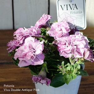 ペチュニア ビバシリーズ ダブル アンティークピンク 苗 10.5cmポット 八重咲き 3.5号鉢 Petunia Viva Double Antique Pink フジフローラ