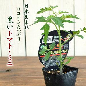 再入荷 エムソン 黒いトマト ミニ 野菜苗 9cmポット 3号鉢 日本生まれ 甘い mson 酸味が少ない