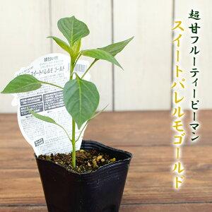 エムソン フルーティー ピーマン スイートパレルモ ゴールド 野菜苗 9cmポット 3号鉢 甘い mson
