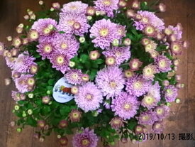 ガーデンマム【ピンク】ベルギーマム