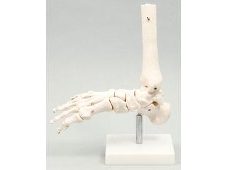足関節模型(009706)
