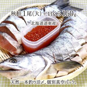 一本釣り活〆 天然秋鮭(大) 1尾 切り身 約3kg、いくら200g 個別真空パック 熟成鮭 北海道道東産 送料無料
