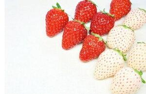 白いちご「パールホワイト」&赤いちご「さがほのか」食べくらべセット イチゴ 苺 送料無料 ギフト 産地直送 佐賀県産