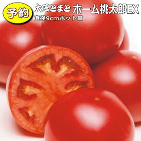 【予約】 実生 大玉トマト ホーム桃太郎EX 20ポットセット 9cmpot苗