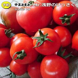 【予約】 実生 中玉トマト Mr,浅野のけっさく 20ポットセット 9cmpot苗