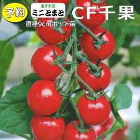 【予約】 接ぎ木 ミニトマト CF千果 20ポットセット 9cmpot苗