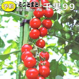 【予約】 実生 ミニトマト 千果99 20ポットセット 9cmpot苗
