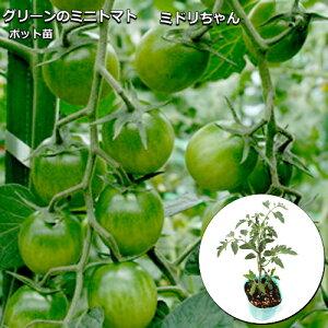 実生ミニトマト 栄養戦隊サプリガールズ ミドリちゃん 9cmポット苗