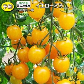 【予約】 接ぎ木 ミニトマト イエローミミ 20ポットセット 9cmpot苗