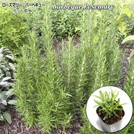 ローズマリー バーベキュー Barbeque Rosemary 10.5cmポット苗 ハーブ 苗 【ラッキーシール対応】
