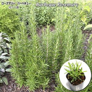 ローズマリー バーベキュー Barbeque Rosemary 9cmポット苗 ハーブ 苗