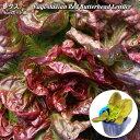 バターヘッドレタス Yugoslavian Red Butterhead Lettuce (オー...