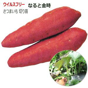さつまいも なると金時 10本束 ウイルスフリー 切り苗 なえ屋産の丈夫なサツマイモ苗