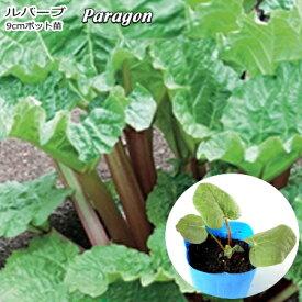 ルバーブ Paragon 9cmポット苗 【輸入種】 【ラッキーシール対応】