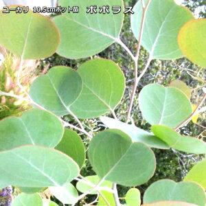ユーカリ・ポポラス 10.5cmポット苗 Eucalyptus