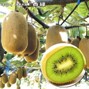 キウイ(メス木) 香緑 こうりょく 雌木 10.5cmロングポット植え 接ぎ木苗