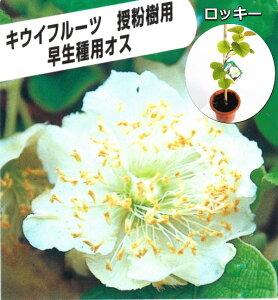 キウイ(オス木)ロッキー(受粉用オス) 18cmポット植え苗木