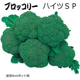 ブロッコリー ハイツSP 9cmポット苗 【ラッキーシール対応】