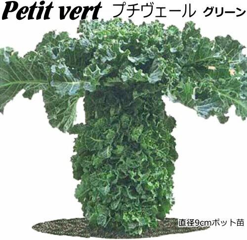 プチベール 苗 10.5cmポット 非結球芽キャベツ