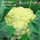カリフラワー オレンジブーケ 9cmポット苗 オレンジドーム 【ラッキーシール対応】