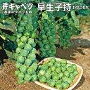 芽キャベツ苗・早生子持(わせこもち)5ポットセット