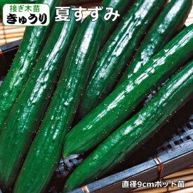 接ぎ木 きゅうり 夏すずみ 9cmポット苗 胡瓜