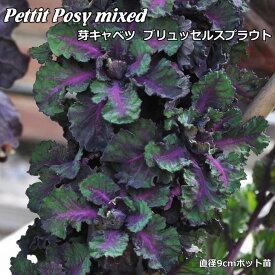 芽キャベツ petit posy 9cmポット苗 ブリュッセルズ スプラウト 【輸入種】 【ラッキーシール対応】