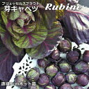 芽キャベツ Rubine 9cmポット苗 ブリュッセルズ スプラウト 【輸入種】 【ラッキーシール対応】